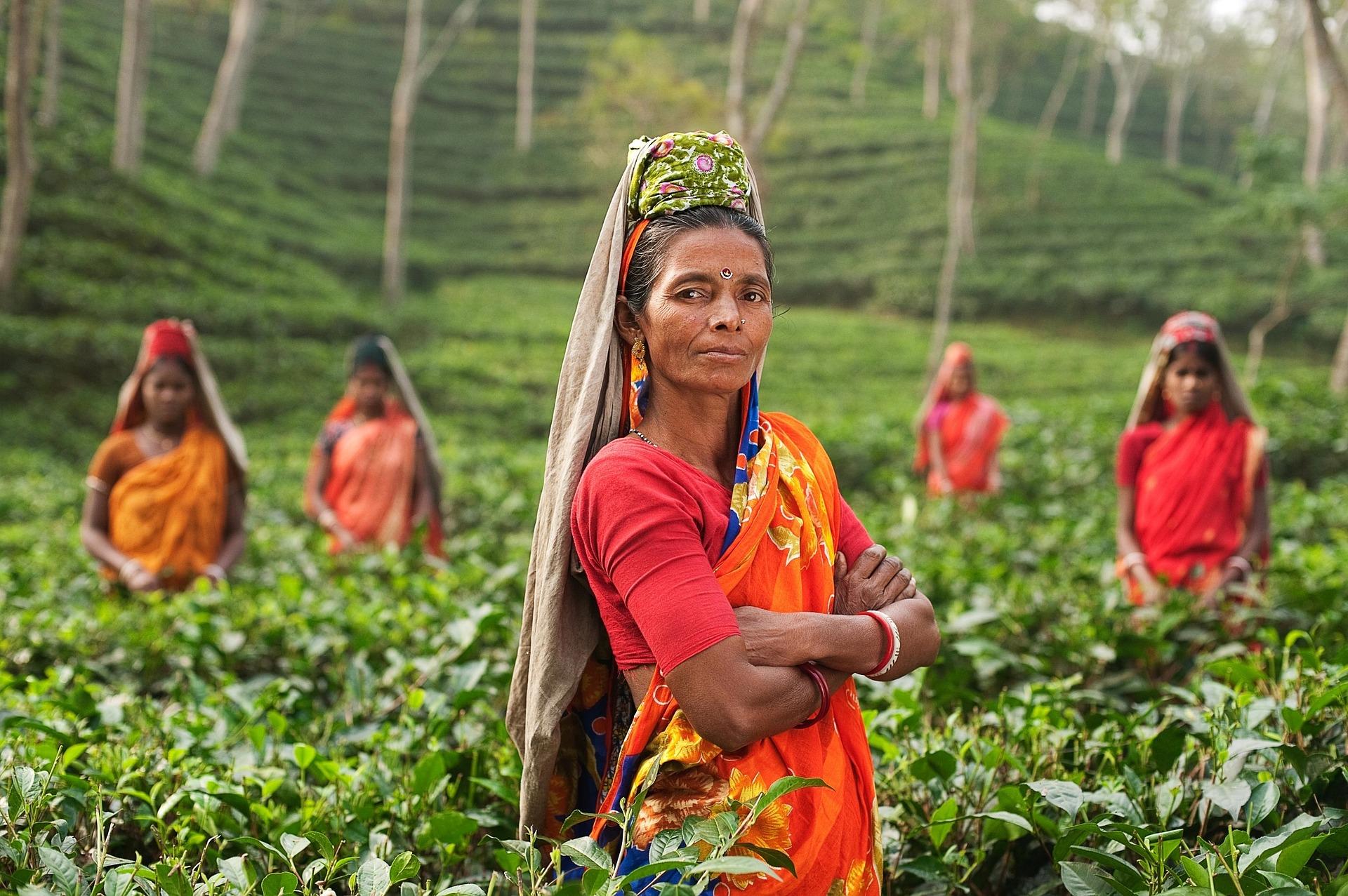 שדות תה
